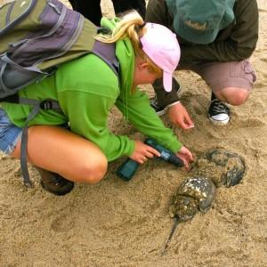Undergrad Summer Research Horseshoe Crab Drilling